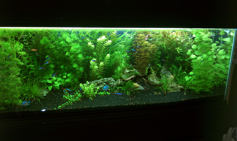 Planted aquarium aquarium article digest for Planted tank fish