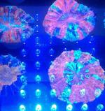 Brain Coral under AquaRay LED Lighting